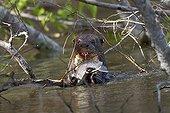 South American river otter eating a fish Pantanal Brazil
