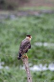 Crested Caracara on a picket fence Pantanal Brazil