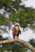 Black-collared Hawk on a branch Pantanal Brazil