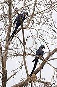 Hyacinth macaws in a tree Pantanal Brazil