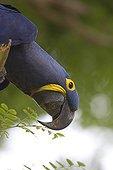 Portait of Hyacinth macaw Pantanal Brazil