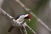 Red-cowled Cardinal on a branch Pantanal Brazil