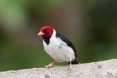 Red-cowled Cardinal Pantanal Brazil
