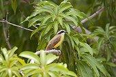 Social Flycatcher on a branch Pantanal Brazil