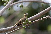 Palm Tanager on a branch Pantanal Brazil
