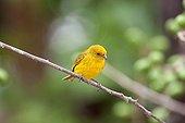 Saffron Finch on a branch Pantanal Brazil