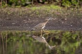 Sunbittern walking along the water Pantanal Brazil