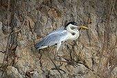 Cocoï heron on the bank Pantanal Brazil