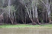 Water level on trees in the Brazilian Pantanal bank