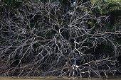 Fallen tree on the bank after flooding Pantanal Brazil