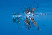Atlantic Sailfish hunting isolated group of Sardines Mexico