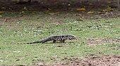 Gold Tegu walking on grass Iguazu Falls Parana Brazil