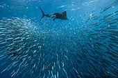 Atlantic Sailfish hunting Sardines schoal Mexico