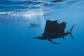 Atlantic Sailfish hunting Mexico