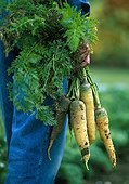 Harvest of carots 'Yellow Stone' and 'Purple Haze'