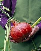Harvest of a potimarron squash in a kitchen garden