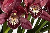 Cymbidium orchid flower on white background