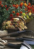 Gardening tools and grape in a garden