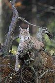 European Lynx resting on an old stump in autumn
