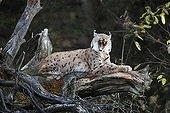 European Lynx resting on a fallen tree trunk in autumn