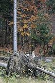 European Lynx sitting on the stump of a fallen tree autumn