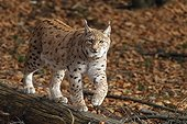 European Lynx walking on the trunk of a fallen tree  autumn