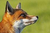 Portrait of a Red fox  GB