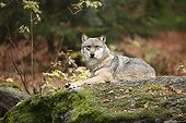 European Wolf laying on a rock  in autumn