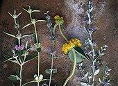 Medecinal plants on the soil