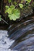Common lady's mantle near a creek Spain
