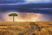 Lone tree on the plains of the Masai Mara NR Kenya ; Tracks leading to lone tree on the plains of the Masai Mara National Reserve. Sunrays breaking through storm clouds in background.