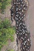 Vue aérienne de la migration de Gnous RN du Masaï Mara ; Vue aérienne de gnous piégés par de hautes falaises en traversant la rivière Mara. Chaque année, des milliers de gnous meurent en traversant la rivière en raison de forts courants ou de passage à des endroits impraticables