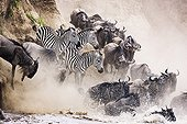 Wildebeest and zebra crossing the Mara River Kenya