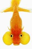 Bubble eyed goldfish shot against white background