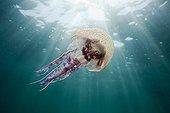 Mauve Stinger Jellyfish Costa Brava Spain