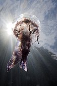 Méduse pélagie sous la surface Costa Brava Espagne