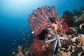 Blue starfish on coral reef Bali Indonesia