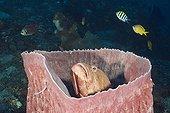Grouper inside Barrel Sponge Bali Indonesia