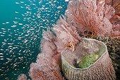 Scorpionfidh inside Barrel Sponge Bali Indonesia