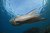 Broadclub Cuttlefish Bali Indonesia
