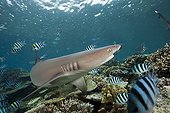Whitetip Reef Shark Viti Levu Fiji