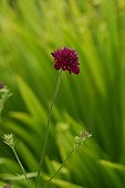 Macedonian Scabious in a garden in Ireland