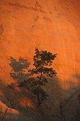 Oak at the old ochre quarry Colorado de Rustrel  France