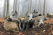 Group Wild Boars resting in the forest in autumn