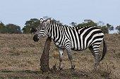 Zèbre de Grant se grattant dans la savane Masaï Mara Kenya