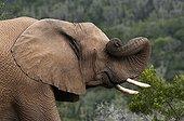 Eléphant d'Afrique se frottant avec sa trompe Afrique du Sud