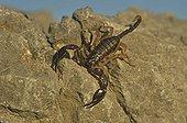 Yellow-tailed black scorpion on rock CorbièresFrance