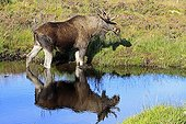 Elan mâle dans un point d'eau en  Ecosse