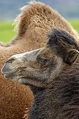 Portrait of a Bactrian camel in Scotland