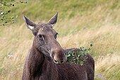 Elan femelle dans les Highlands en Ecosse